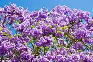 Summer Gardening Tips - jacaranda trees burke s backyard