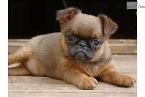 Autre brussels griffon puppy for sale near moscow russian