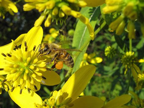 backyard honey bees bee central on flipboard