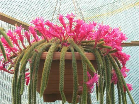 piante grasse pendenti con fiori piante grasse pendenti piante grasse piante grasse