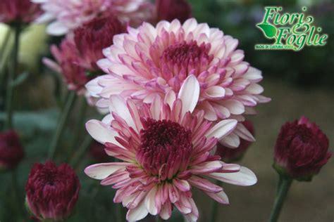 crisantemi fiori dei morti crisantemi da fiori per i morti a bouquet stilosi fiori