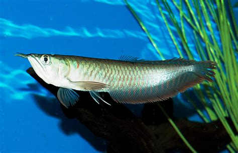 freshwater fish fish n tips large aquarium fish freshwater