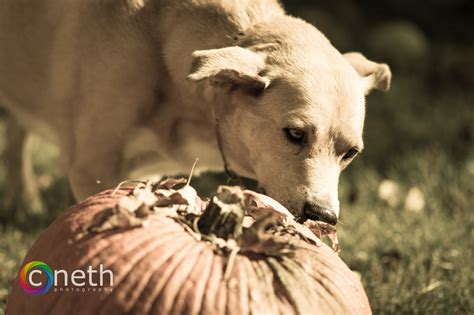 puppy and pumpkin and pumpkin cneth photography 365 photo project
