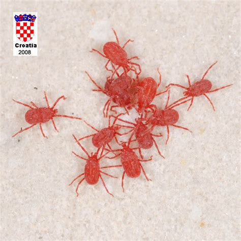 tiny red bugs in bed very tiny little red bugs getting rid of ants with apple