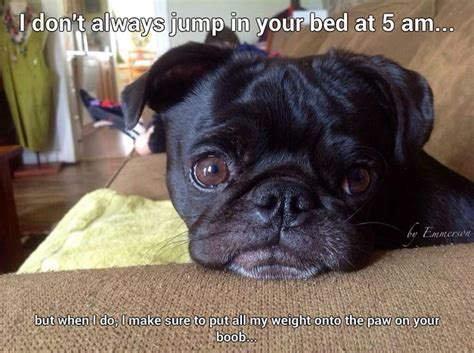 where do pugs like to be petted 1000 images about pug pictures on pug a pug and baby pugs