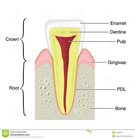 cross section of tooth dental madukovich s cogitations