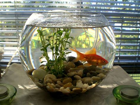 What To Put In A Clear Glass Vase Cute But Deadly The Truth About Fish Bowls Betta Fish