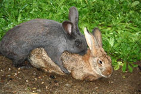 animal mating rabbit cat bunny cat mate conigli accoppiamento stock photos 478 images