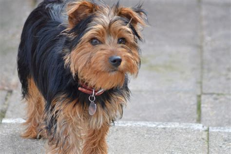 standard yorkie standard terrier needs loving home ryde isle of wight pets4homes