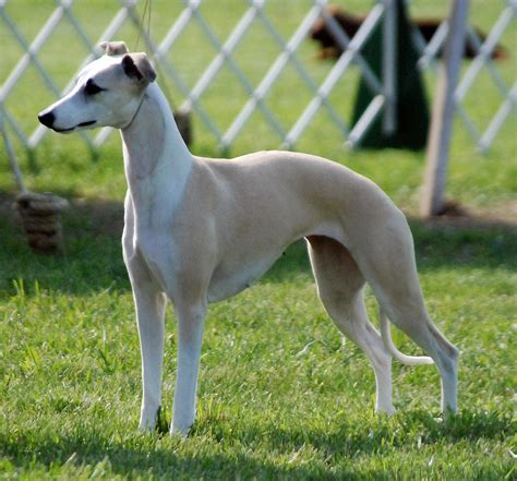 whippet breed whippet dogs i