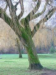 fiori di bach willow willow fiori di bach per chi prova risentimento
