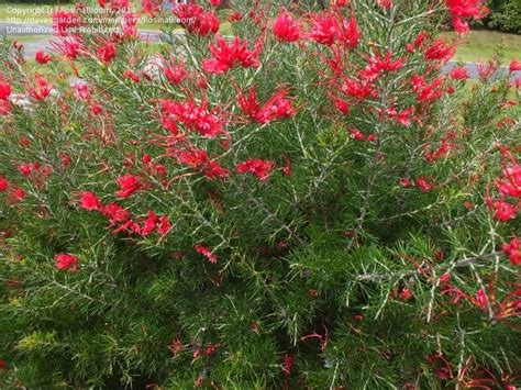 What Garden Zone Am I In By Zip Code - plantfiles pictures rosemary grevillea scarlet sprite grevillea rosmarinifolia by rosinabloom