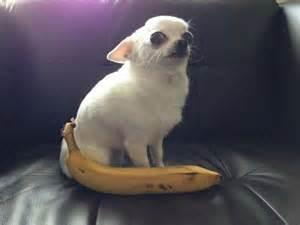 can you give dogs bananas banana dogs pics bajiroo