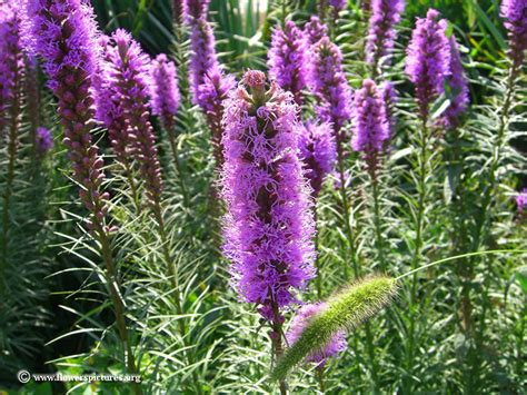 blazing star liatris picture