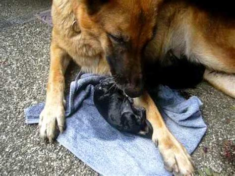 birth for dogs my german shepherd quot quot giving birth