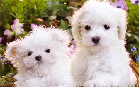 wallpaper for desktop puppies cute puppy wallpapers for desktop wallpaper cave