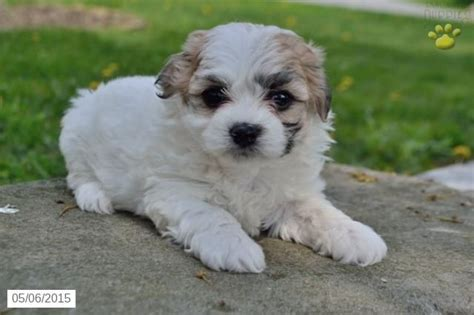 shichon puppies for sale in ohio best 25 shichon puppies for sale ideas on zuchon puppies for sale woks