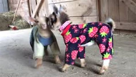 Pygmy Goat Barn Baby Goats In Pajamas Enjoy Playtime In The Barn
