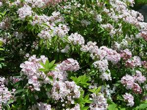 Fall Garden Nc - rhododendron mountain laurel plant care guide auntie dogma s garden spot