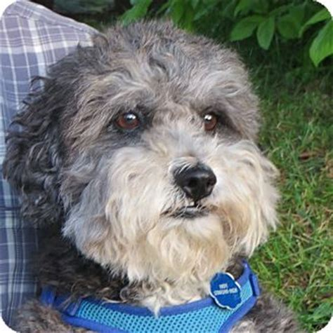 adopt a puppy seattle small adoption seattle wa breeds picture