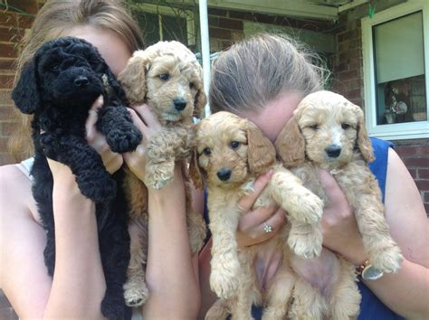 sproodle puppies for sale sproodle puppies for sale malpas cheshire pets4homes