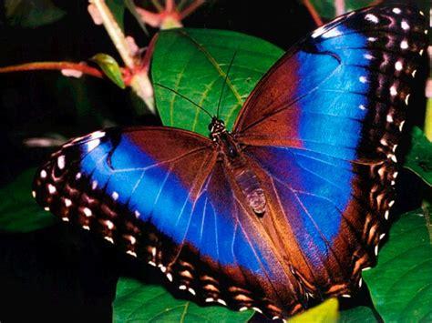 imagenes de mariposas reales bonitas galer 237 a de im 225 genes mariposas de colores