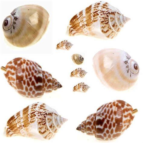 Seashell Drawer Knobs by Unique Real Sea Shells Door Knobs Drawer Pulls Handles