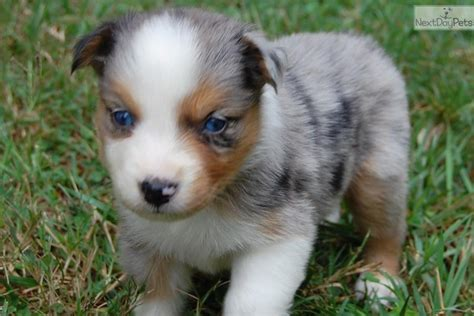 australian shepherd puppies for sale in nc maggie australian shepherd puppy for sale near raleigh durham ch carolina