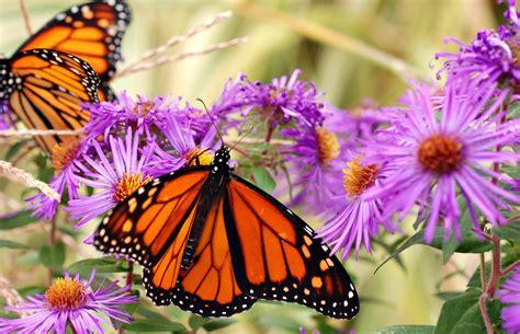 butterfly island bed butterfly plants