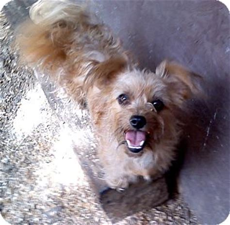 yorkie oregon tabby adopted salem or yorkie terrier terrier unknown type