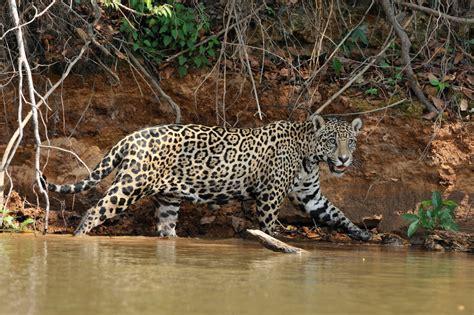 imagenes jaguar felino jaguar el felino m 225 s grande de am 233 rica taringa