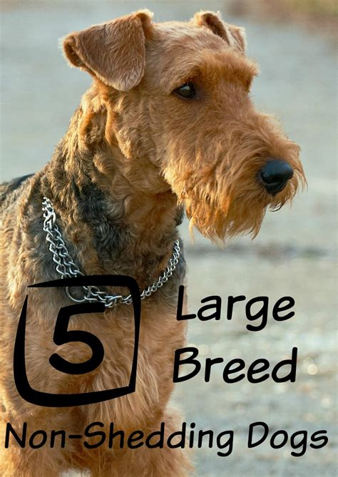puppies that don t shed large breeds that don t shed dogvills