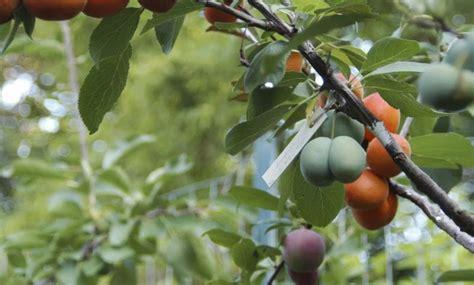 Hak Mango Hitam een fruitboom met veertig soorten fruit in negen jaar