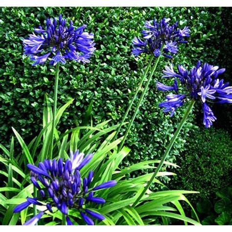180mm agapanthus purple cloud garden pinterest