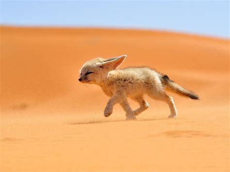 modern family life fragrance l china گوش درازترین و کوچک ترین روباه جهان