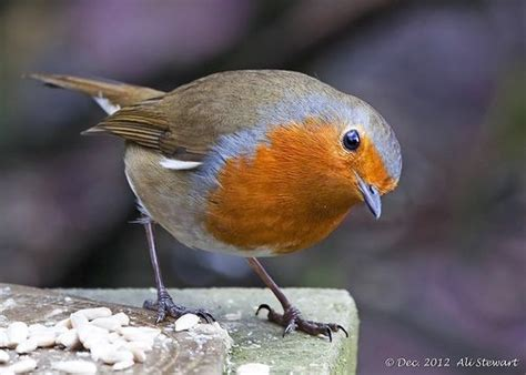 1000 images about robins on pinterest birds the snow
