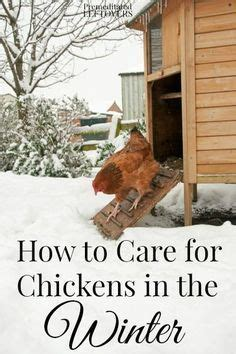 how to take care of backyard chickens best 25 silkie chickens ideas on pinterest chicken