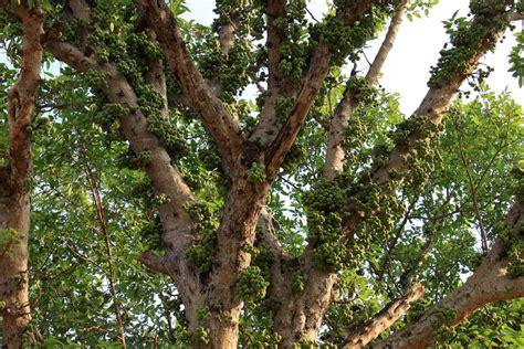sals fruit tree ficus racemosa l flickr photo