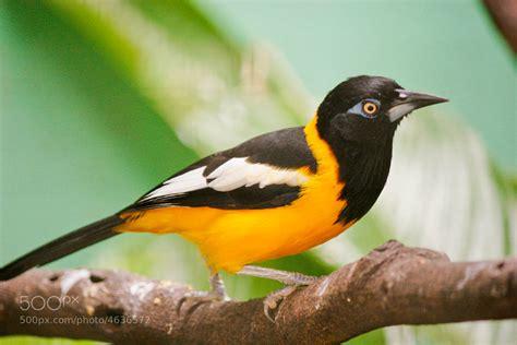 turpial ave nacional venezuela apexwallpapers com photograph turpial national venezuelan bird ave nacional