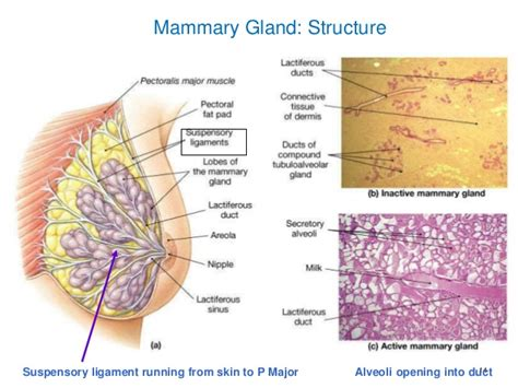How To Detox Mammary Glands Before Conception by Mammary Glands