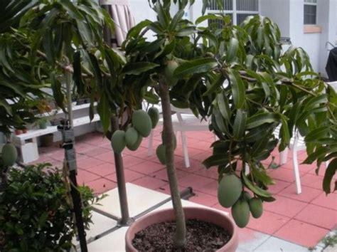 Harga Bibit Pohon Mangga Irwin cara menanam mangga cangkokan dalam pot bibitbunga