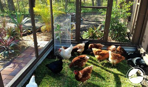 backyard chicken coops brisbane chicken coop large best bedding for chicken coop australia