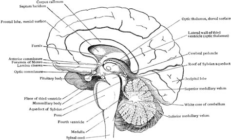 brain cross section diagram brain in mesial section clipart etc