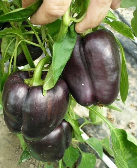 Benih Biji Tanaman Buah Paprika Pepper Sweet California benih paprika lilac 4 biji non retail bibitbunga