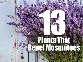 Flowers That Keep Mosquitoes Away by 13 Plants That Repel Mosquitoes