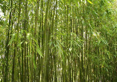 phyllostachys viridiglaucescens winterharter hoher bambus