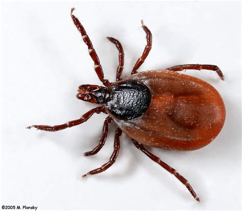 ticks pictures deer tick ixodes scapularis photo m plonsky photos at pbase