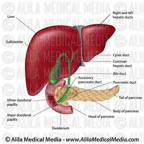 diagram of bile duct system alila media digestive organs and bile ducts