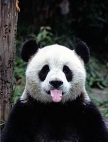 Impressionnant Chambre Noir Et Blanc #1: du-panda-roux-ou-panda-noir-et-blanc-1-chambre-bébé-panda-voir.jpg