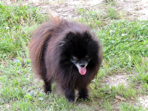pomeranians for sale in maryland the happy woofer pomeranian delaware breeder puppies for sale